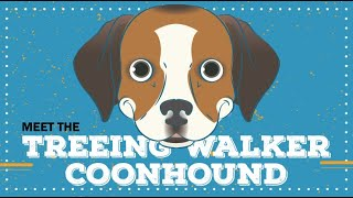 Treeing Walker Coonhound | CKC Breed Facts & Profile