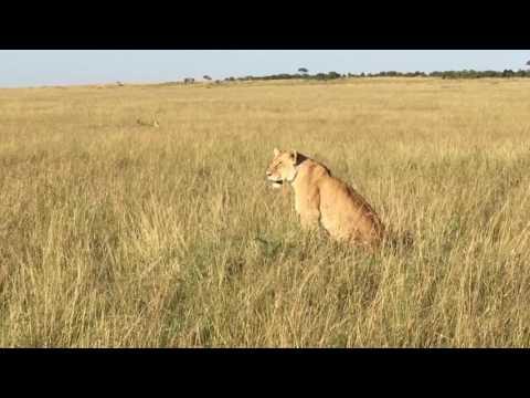 Governors' Camp Live Experience Review - Paradise Pride, Masai Mara #GMCLivereviews
