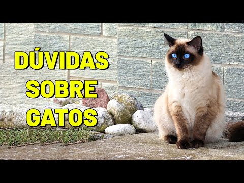 Dúvidas sobre gatos. Respondendo as perguntas mais frequentes sobre gatos 😻 - Gatil Hauser