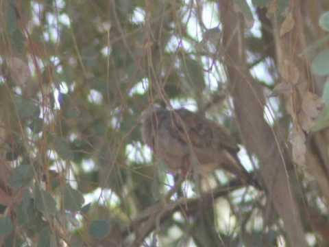 Ruddy Ground-Dove 1
