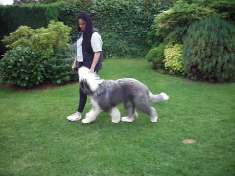 Old English Sheepdog Benji