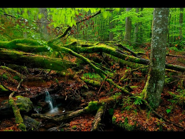 Virgin Forest - Unser Urwald