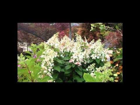 Hydrangea Haven - All About Hydrangeas