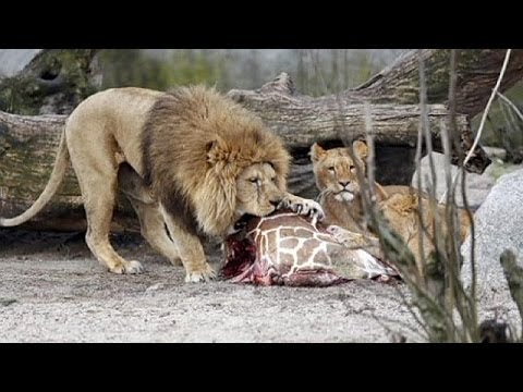 GRAPHIC - Giraffe Marius slaughtered in Copenhagen Zoo, fed to lions