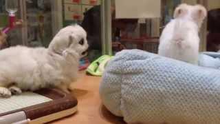 マルチーズ ペキニーズ 子犬 赤ちゃんが耳を噛んだりして遊んでいます。...