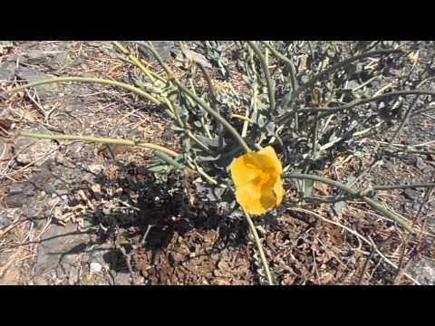 ADORMIDERA MARÍTIMA: Glaucium flavum (http://riomoros.blogspot.com.es)