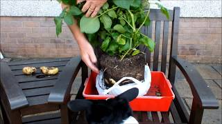 HGV How to grow potatoes in shopping bags for an extended harvest. Start to Finish