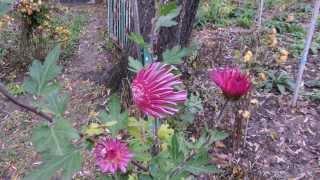 видео Хризантемы цветут в декабре. Chrysanthemums bloom in December