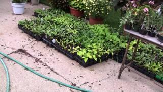 Growing Hosta, & Japanese Mape