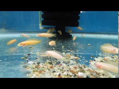 Julidochromis Ornatus Golden Julie