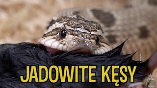Karmienie WSZYSTKICH węży ☠️💀Pyton, Boa, Heterodon i reszta