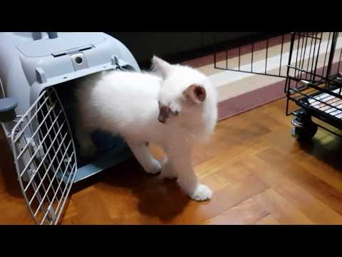Ragdoll Cats Vlog #01  (01 November 2017)