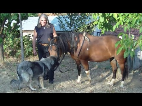 Sarplaninac FCI 4302 - Yugoslavian Shepherd Dog Sharplanina