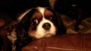 ❤ Lady Charlemagne (the Cavalier King Charles Spaniel) Talking ❤