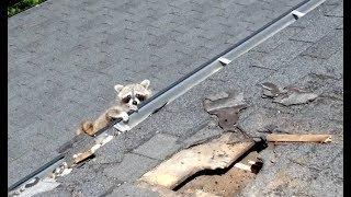 Baby Raccoon In Need Of Help