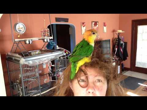 8 month old White-Bellied Caique hair surfing
