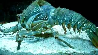 lobster removing his shell amazing video