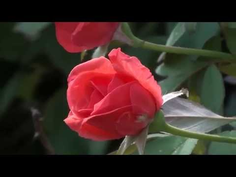 New Sony handycam HD video Wedding flowers background,and composing background  34 thumbnail