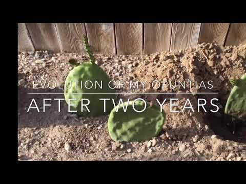Update Opuntia Cactus After Two Years