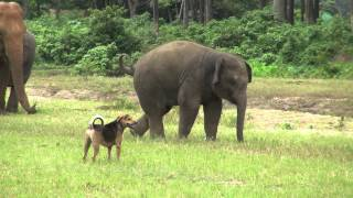 Baby elephant Yindee VS a dog