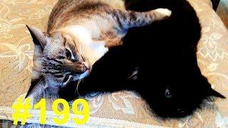 Ворчать лёжа - любимая кошачья работа