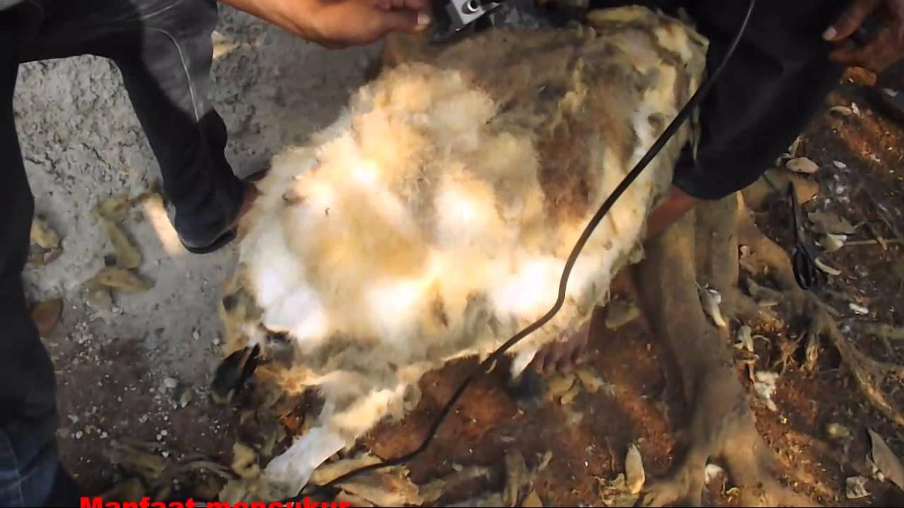 Alat Cukur Bulu Domba Electric Shearing