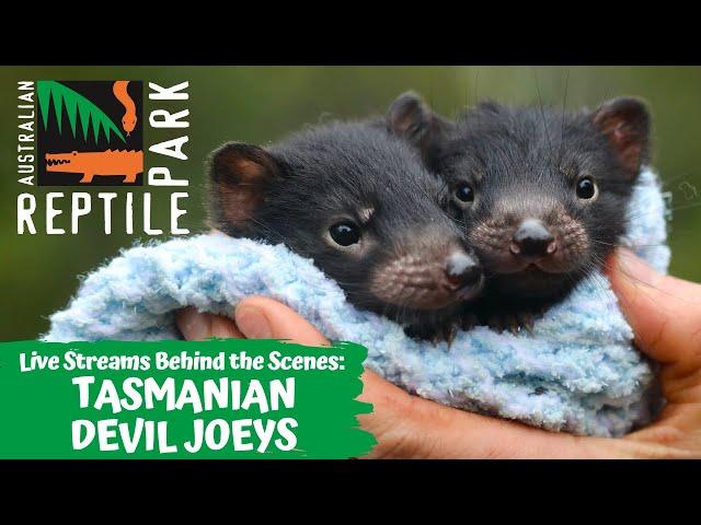 TASMANIAN DEVIL JOEYS (LIVE FOOTAGE) | AUSTRALIAN REPTILE PARK