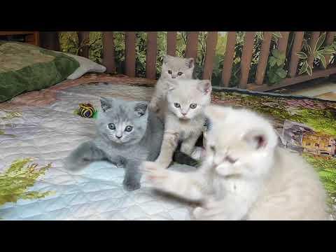 Британские котята в возрасте 2 месяца (Litter-N2)