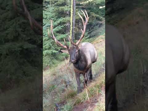 6x6 Bull, Washington State Elk Season 2019