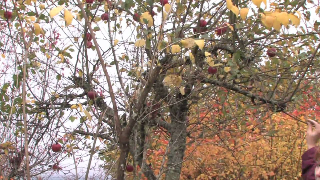 How to care for an apple tree in spring, summer and autumn Planting, pruning and caring for apple trees 16