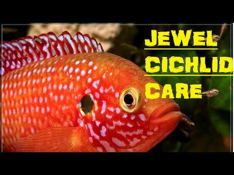 Fish Basics: Jewel Cichlid.