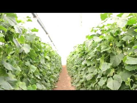 cucumber farm in israel and talking about student in laos.