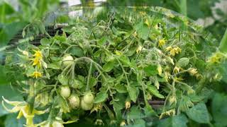 Почему на томатах много пустоцветов?