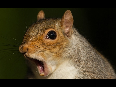 FUNNY and CUTE SQUIRRELS will make you LAUGH - Funny squirrel compilation
