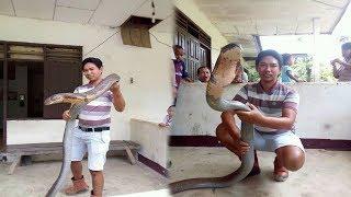 Ular King Cobra yang Sempat Viral, Kini Akan Dilepas Liarkan Kembali