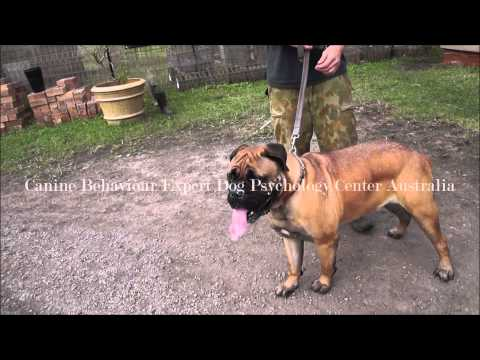 Dog aggressive Bull mastiff