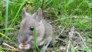 Wood Mouse In Garden