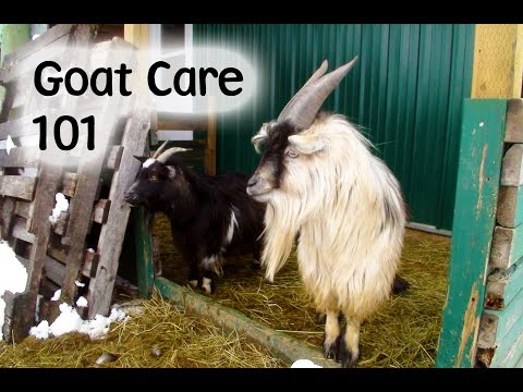 Goats - Caring for and Feeding