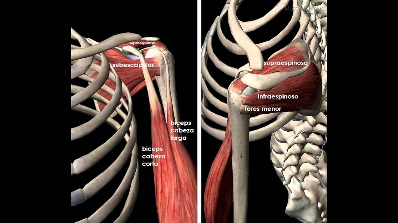 Anatomía \