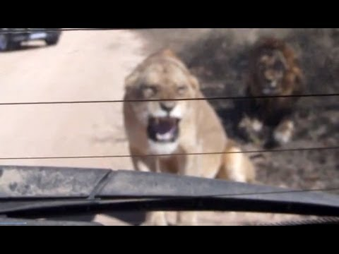 Lioness Hissing At Her Reflection - 12 June 2013 - Latest Sightings