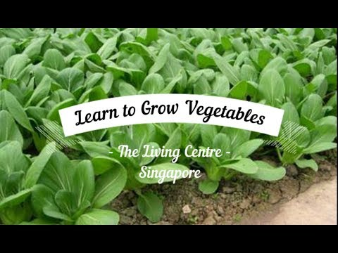 Learn to Grow Vegetables in Singapore