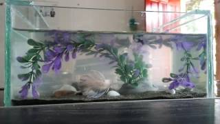 Video Ikan Guppy vs ikan laga download MP3, 3GP, MP4, WEBM, AVI, FLV Januari 2018