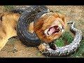 Lion vs Giant Anaconda - Crocodile vs Python - Most Amazing Attack of Animals