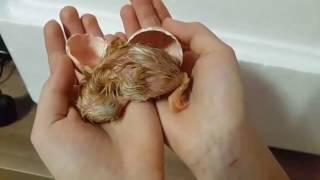 Уход за цыплятами в первые дни жизни(Уход за цыплятами в первые дни жизни В самом начале цыплята совершенно беззащитны перед условиями суровой..., 2016-07-01T16:55:27.000Z)