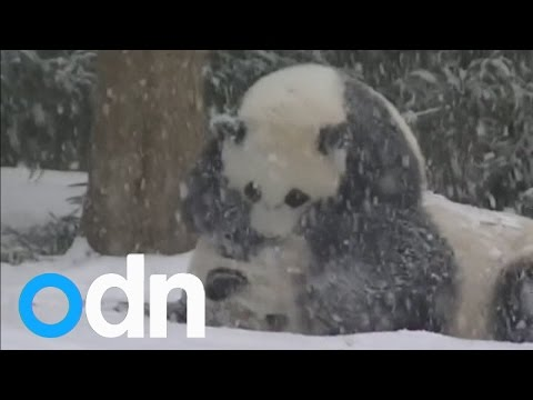 Watch: Cute baby panda Bao Bao plays in the snow for the first time