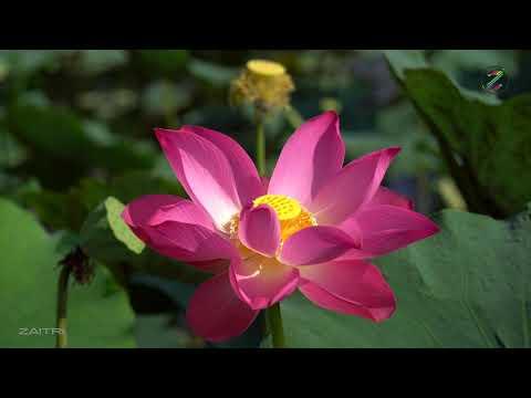 Hình ảnh Hoa Sen Việt Nam đẹp nhất ở Đầm Sen Tam Đa   Stock 4K  Footage Lotus Vietnam   ZaiTri