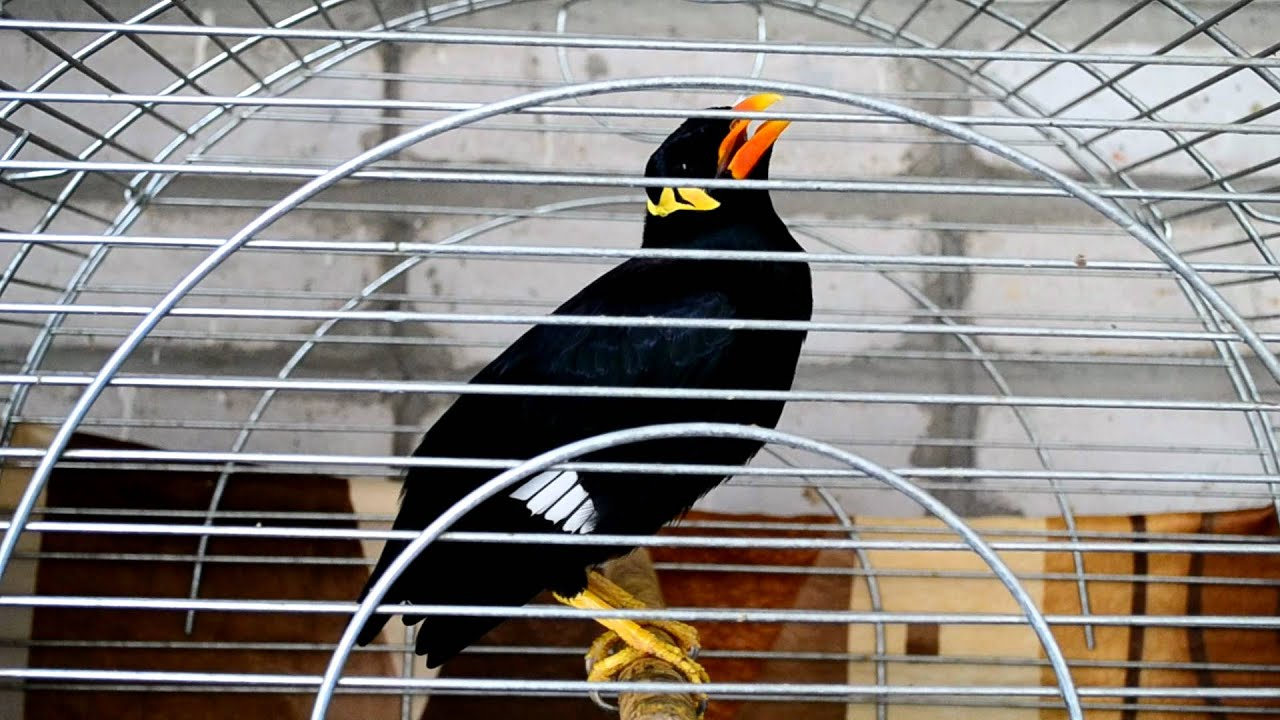 Скачать видео про птицу священная майна фото 93-337