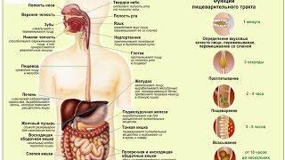 Анатомия пищеварительной системы.