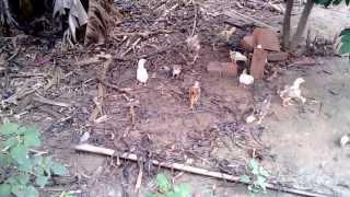 Soltando os pintinhos para passearem pelo quintal pela primeira vez