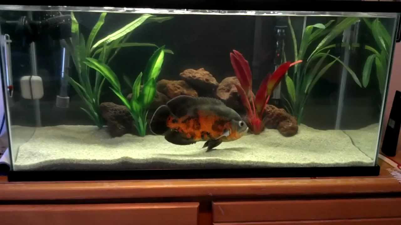 10 Inch Tiger Oscar In A 40 Gallon Breeder Tank Hi Def